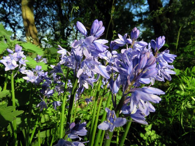 Spanish bluebells in the Wyre Estuary Country Park