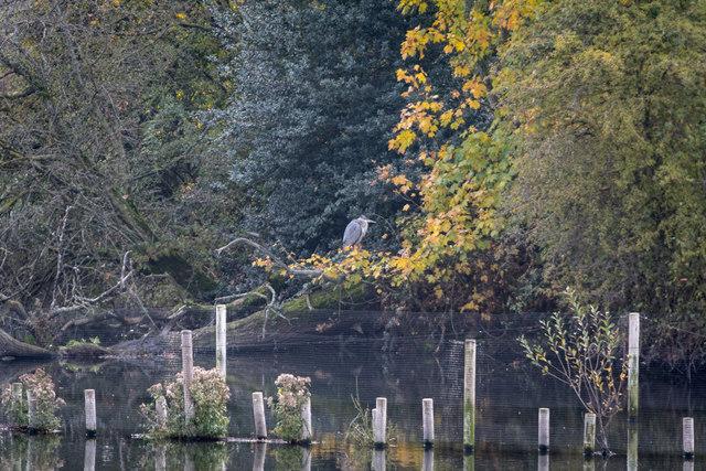 Heron at Reservoir, Tottenham  Marshes