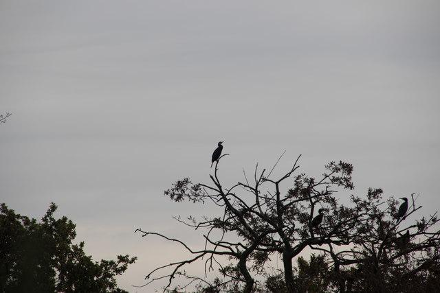 Cormorant at Reservoir, Tottenham  Marshes