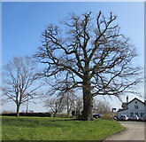 SO4430 : Trafalgar oak tree in Kilpeck, Herefordshire by Jaggery
