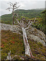 NH3239 : Dead Scots Pine by valenta