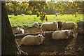 SJ5658 : Sheep at Bunbury by Stephen McKay