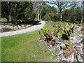 NX0942 : Gunnera sprouting in Spring, Logan Botanic Garden by Humphrey Bolton