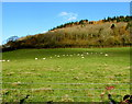 SO3216 : Grazing sheep, Llanddewi Skirrid by Jaggery