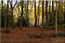TQ1462 : Beech woodland, Esher Common by Mike Pennington