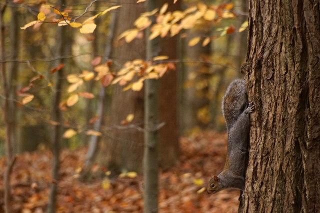 Grey Squirrel (Sciurus carolinensis), Esher Common