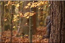 TQ1362 : Grey Squirrel (Sciurus carolinensis), Esher Common by Mike Pennington