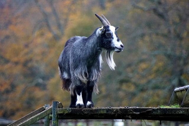 Goat at Godstone Farm