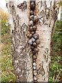 SJ6567 : Snails in a silver birch by Stephen Craven
