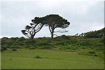 SX5148 : Distinctive tree by N Chadwick