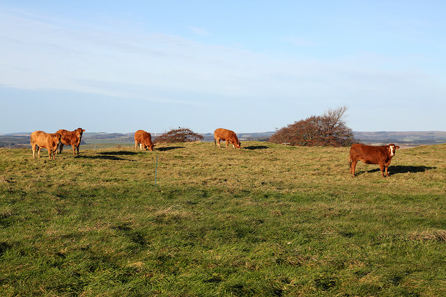 Cattle at Hume