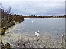 SJ6675 : Swan on  Neumann's Flashes by David Dixon
