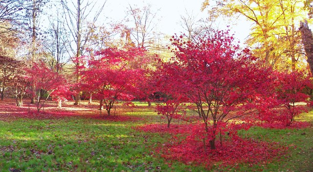 Acer Trees, Windsor Great Park