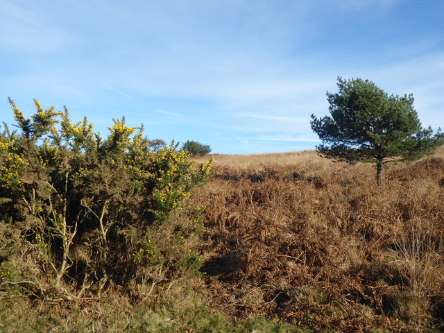 Gorse and dead bracken on Ashdown Forest