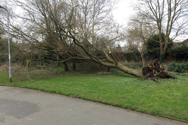 Fallen elm, St Nicholas Park, Warwick
