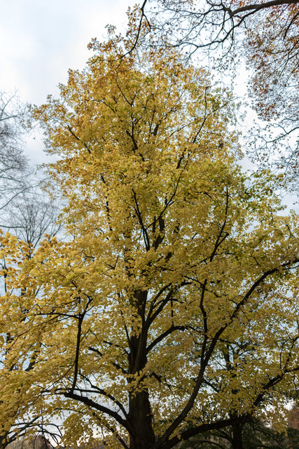 Autumn Colours near Kenwood House, Hampstead Heath