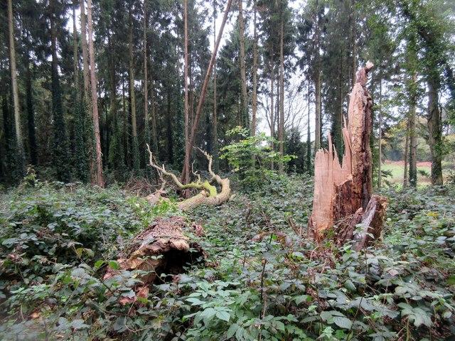 Fallen tree in Selhurst Park