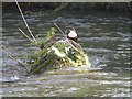 SK1373 : Dipper on River Wye by Dave Dunford