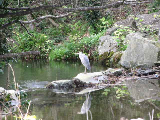 Heron on a weir in the Shimna at Islands Park