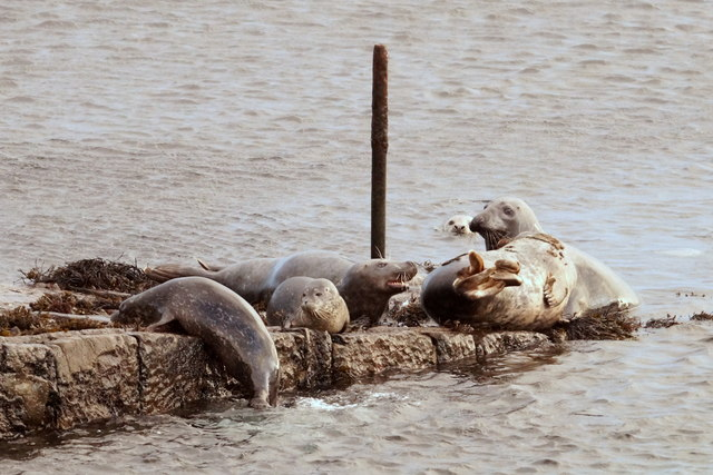 Seals on the old pier, Haroldswick