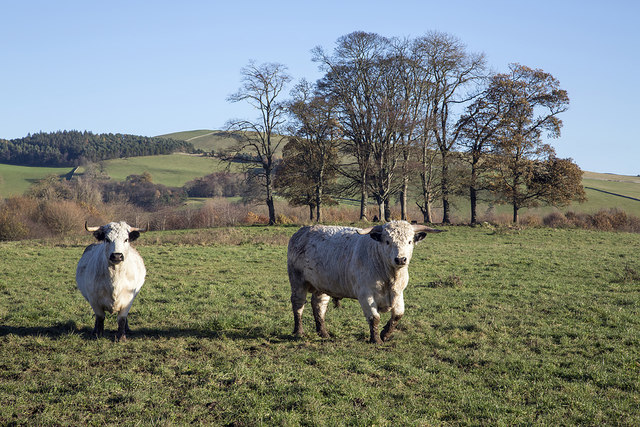 Cattle at Thirlestane