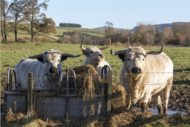 Hungry cattle at Thirlestane