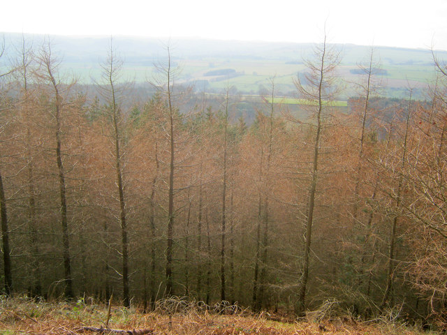 Larch plantation at Manners Wood