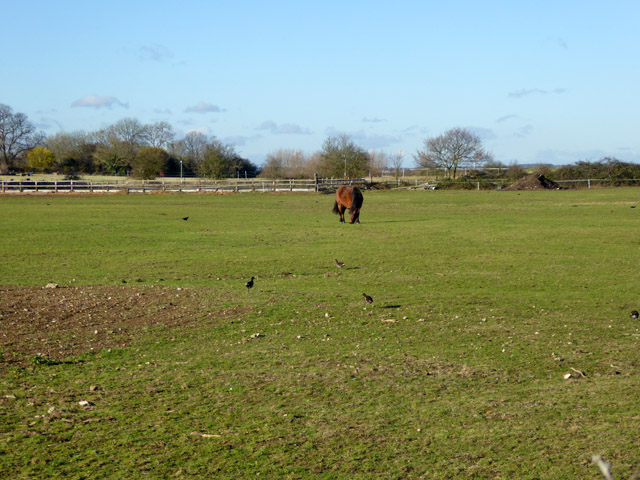 Field with horse and moorhens, East Mersea