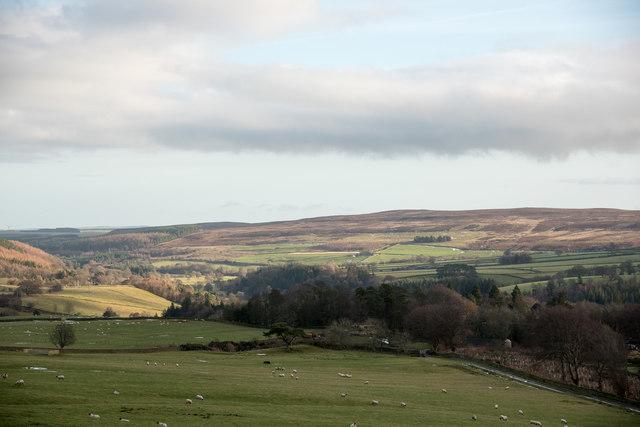 Sheep grazing above Long Plantation