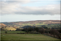 NY9449 : Sheep grazing above Long Plantation by Trevor Littlewood