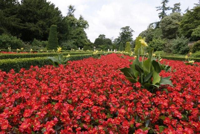 Cliveden Begonias