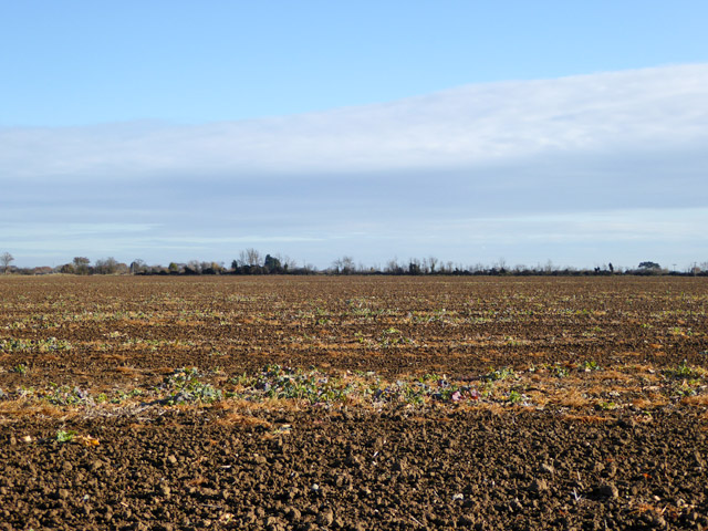 Cultivated field, Mersea Island