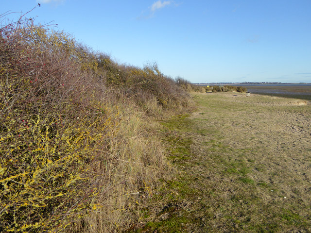 Beach hedge with yellow lichen, East Mersea