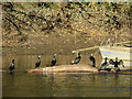 SJ4065 : Cormorants on a log in the River Dee by John S Turner