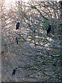 SJ3965 : Cormorants roosting above the River Dee by John S Turner