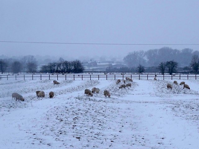 Sheep in a snow-covered ridge and furrow field