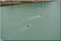 TQ0202 : Openwater swimmers, River Arun by N Chadwick