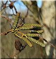 SX9066 : Alder catkins, Nightingale Park by Derek Harper