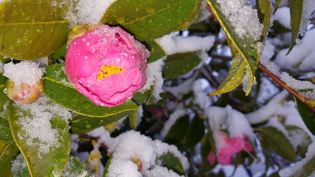 Camellia in the Snow in London N14