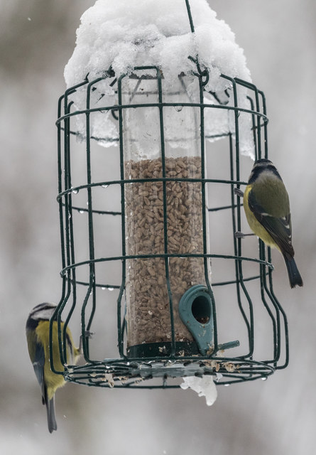 Blue Tits Feeding in the Snow