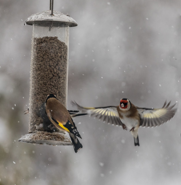 Goldfinches Feeding in the Snow