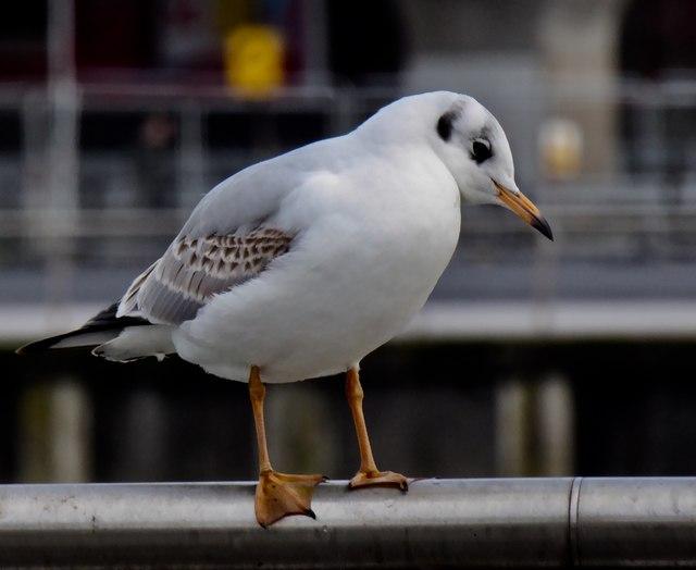 Black headed gull, Belfast