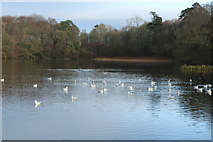 NS2209 : Gulls at the Swan Pond by Billy McCrorie