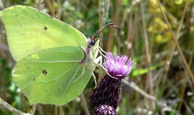 Brimstone butterfly Gonepteryx rhamni, feeding on thistle flower