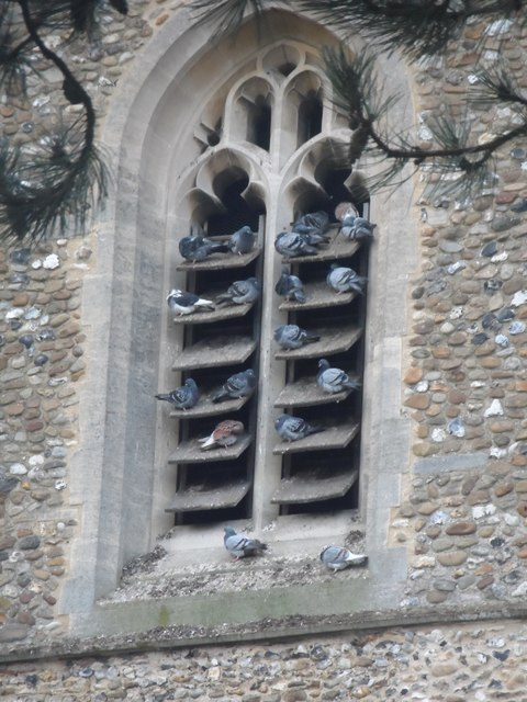 Pigeons roosting in the fifteen century tower of St Mary's Whaddon