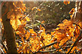 SX9066 : Oak leaves, Nightingale Park by Derek Harper