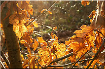 SX9066 : Oak leaves, Nightingale Park by Derek Harper
