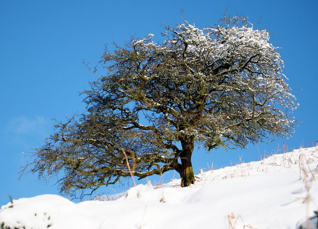 Hawthorn tree in the snow