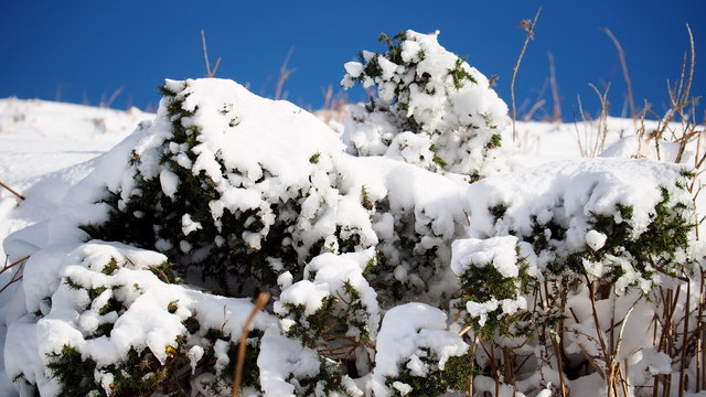 Snow encrusted gorse