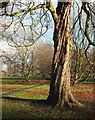 SE3155 : Horse chestnut, The Stray by Derek Harper